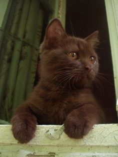 What a delicious chocolate colored baby kitten... gonna be a really cool cat. ~~ Houston Foodlovers Book Club