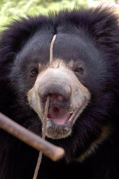 SO SAD! - Dancing Bears -  The orphaned cubs' teeth are often knocked out or broken for the safety of humans; their nails are clipped short or removed (both of which are painful to bears); and a hot poker or piece of metal is run through the snout or lip to make a permanent hole through which a rope is anchored to control the bear. All of this is done without anesthesia. The trainers make the bears move by pulling on the rope, which causes great pain, and beating the bears if they do not…