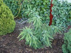 Picea omorika 'Kuck Weeping'