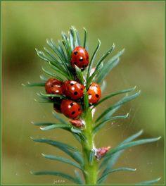 ladybugs n evergreen