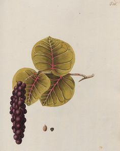 Plants of America — Viewer — World Digital Library  |  1780 | illustrations by Nicolai Joseph Jacquin (one of the greats in botanical illustrations)