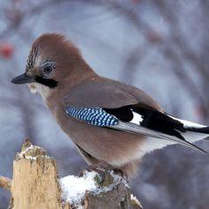 1)Kuinka monta talvilintua tunnistat?2)Siepon muuttolintukuvasto http://koivu.luomus.fi/lapset/pdf/sieppo_3-10_luontokuvasto_linnut.pdf