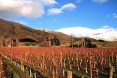 Two paddocks vineyards, Sam Neil