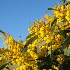 Australian Photography, Native Australians, Australian Plants, Spring Plants, Spring Blossom, Aesop, Native Plants, Assessment, Photo Book