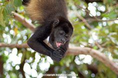 This would be so fun!! Mantled Howler Monkey, Costa Rica - near Monkey Bar near Riu Guanacaste Resort