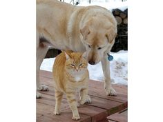 The Seeing-Eye Cat and the Blind Dog:  Meet Libby, a seeing-eye cat self-trained to help her companion navigate a dark world when she began to lose her sight at age 12. Libby & Cashew didn't have much interaction until Cashew's old age set in & Libby's protective instincts took over. Libby would guide Cashew, walking just below her chin, to sunny spots, the water bowl, and out of harm's way.