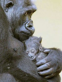 My cute infant fitdankbaby sportmitbaby fitmitbaby fi # mammals - . - My cute baby fitdankbaby sportmitbaby fitmitbaby fi # Mammals – - Primates, Mammals, Gorilla Gorilla, Female Gorilla, Cute Baby Animals, Animals And Pets, Funny Animals, Strange Animals, Small Animals