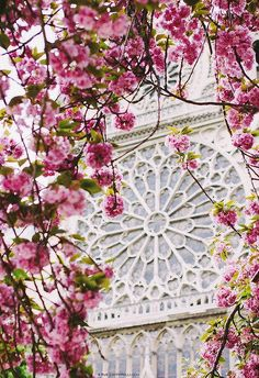 Pink Blossoms of Springtime in Paris