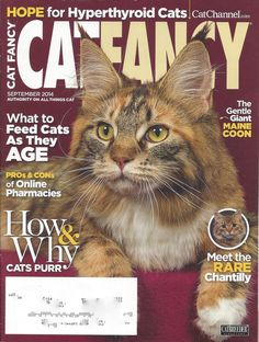Chantilly Cat Fancy 2014 Contributor: Crystal Wolf What To Feed Cats, Chantilly Cat, Rare Cats, Fancy Cats, Online Pharmacy, Gentle Giant, Wolf, Creatures, Author