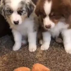 Super Cute Puppies, Really Cute Puppies, Cute Little Puppies, Cute Little Animals, Cute Dogs And Puppies, Baby Puppies, Cute Funny Animals, Doggies, Aussie Dogs