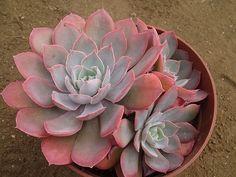 Echeveria cv.Pinky