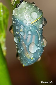 Monarch chrysalis-- this is gorgeous. Seeing things like this reminds me how detail-oriented my God is. I love this.