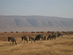 Tanzania, wildebeast trek