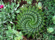 Aloe polyphylla suculentas espiral 5 semillas raras aloe de