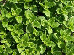 De bodem is bezaaid met voedsel. Er zijn velen eetbare plantjes die de bodem bedekken. Sommigen zijn eetbare bodembedekkers.