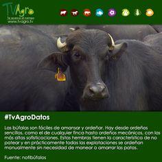 #TvAgroDatos Las búfalas a diferencia de otros animales lecheros, facilitan el trabajo del ordeño.