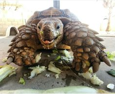 Sulcata Tortoise named Chompers