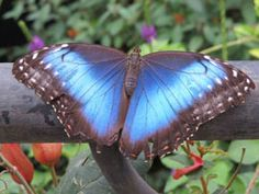 Delightfully Unbelievable Facts About the Blue Morpho Butterfly