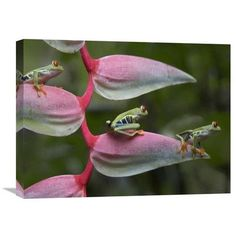 Global Gallery Nature Photographs Red-Eyed Tree Frog Three Sitting on Heliconia, Costa Rica by Tim Fitzharris Photographic Print on Wrapped Canvas ...