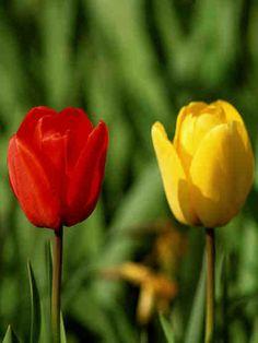 Tulppaaneilla voi leikitellä yhdistelemällä eri värejä ja sävyjä