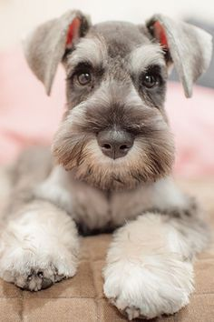Rare Dogs, Rare Dog Breeds, Cute Dogs Breeds, Cut Animals, Cute Baby Animals, Cute Puppies, Dogs And Puppies, Doggies, Expensive Dogs