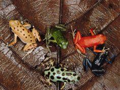 Strawberry Poison Dart Frog (Dendrobates Pumilio) Group Showing ...