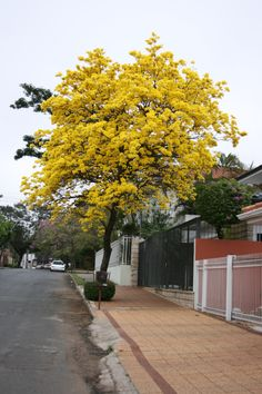 Yellow La Pacho tree, Asuncion Paraguay