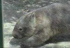 Bare-nosed Wombat (formerly known as the Common Wombat) Common Wombat, Extinct, Hedgehogs, Alsace, Reptiles, Habitats, Roman, Insects, Birds