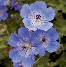 Rozanne Hardy Geranium   Geranium   Perennial Plants   Jung Garden and Flower Seed Company