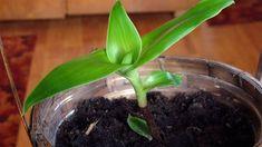 Kalísie voňavá (Callisia fragrans) Celery, Pesto, Vegetables, Plants, Gardening, Alcohol, Lawn And Garden, Vegetable Recipes, Plant