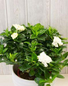 Γαρδένια φυτό | Συμβουλές και φροντίδα | eflowers.gr Plants, Landscape, Flowers, Herbs, Seeds, Trees To Plant, Orchids, Gardenia Bush, Tree