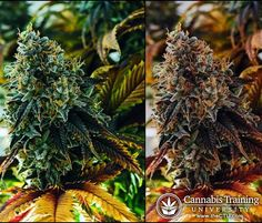 Know about various strains of cannabis plant!   theCTU.com