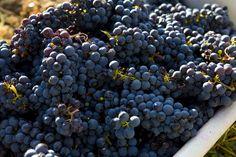 Harvested grapes. #winecountry / Mary Anne Veldkamp / Real Estate / www.maryanneveldkamp.com / 707-535-8803