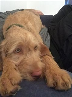 Funny Dogs, Cute Dogs, Doggies, Dogs And Puppies, Hungarian Dog, Wirehaired Vizsla, Cute Dog Pictures, All Things Cute, Fur Babies
