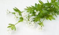 Waldmeister - Rezepte & Tipps