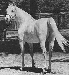 ANSATA ABBAS PASHA 1964 grey stallion by *Ansata Ibn Halima++