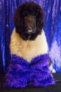 Notta Bear Newfoundlands Trendy is the trendiest go go dancer around in her halloween dog costume! Giant Dogs, Big Dogs, Cute Dogs, Large Dogs, Animal Costumes, Cat Costumes, Bear Costume, Dog Photos, Dog Pictures