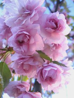 pink flowers Pink Roses, Pink Flowers, Fragrant Roses, Lavender Flowers, Outdoor Gardens, Pretty, Nature, Plants, Issey Miyake