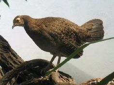Green Jungle Fowl (Gallus varius) - Google Search