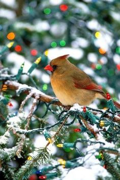 pretty cardinal in a lighted tree