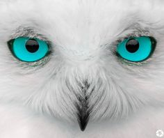 #Owl #Eyes #Intense #Color #Owls #Animals #Magnificent #Fierce   ::)