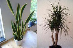 Plantas caseiras que purificam o ar.