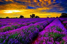 Le incredibili sfumature di viola dei campial tramonto