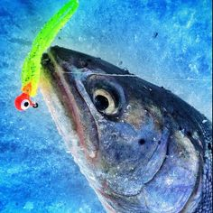 Cabela's fan Ryan caught this fish having a stare down with the jig.