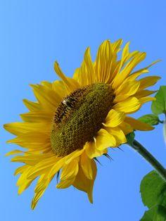Description Sunflower 2007.JPG