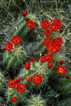 ✯ Claret Cup Cactus - Echinocereus Triglochiatus Var. Neomexicanus