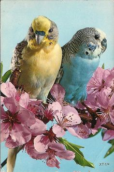 Vintage Postcard - I think this is an exact portrait of the birds my sister and I had as kids! Giallo and Uccello!