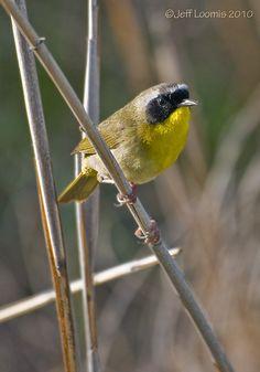 Common Yellowthroat - Photo by Jeff Loomis