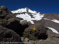 A wildflower finds a place to grow atop Butte 9000 on the side of Mt. Shasta, Shasta-Trinity National Forest, California