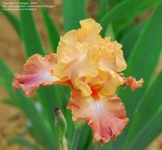 "This is the ""Life of Riley"" Bearded Iris"